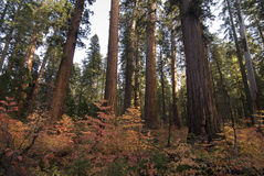 Sequoia forest Royalty Free Stock Photos