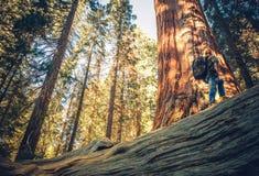Sequoia Forest Exploring royalty-vrije stock fotografie