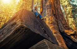 Sequoia Forest Hiker. Caucasian Men Seating on Ancient Fallen Sequoia Tree Log. Exploring Kings Canyon and Sequoia National Parks in California, United States Royalty Free Stock Photos