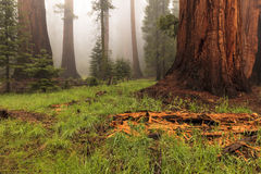 Sequoia Forest. This image of a Sequoia forest was captured in the Sequoia National Park in California.  Heavy fog gave the scene an ethereal feeling Stock Photos