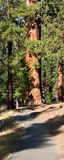 Sequoia Forest Path Royalty Free Stock Photo