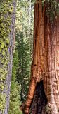 Sequoia Forest. A sequoia forest in Yosemite national park Stock Images