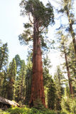 Sequoia Giant Forest museum trailhead, USA Royalty Free Stock Image