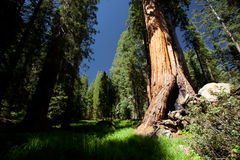 Sequoia Royalty Free Stock Photography