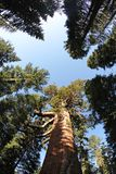 Sequoia Royalty Free Stock Photos