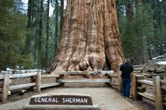 Sequoia gigante Fotografia de Stock