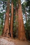 Sequoia gigante Fotografia de Stock Royalty Free