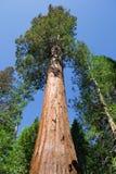 Sequoia gigante Immagini Stock