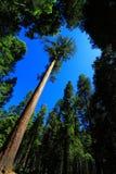Sequoia gigante immagine stock libera da diritti