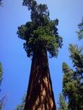 Sequoia gigante al sole Fotografie Stock