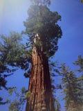 Sequoia gigante al sole Fotografie Stock Libere da Diritti