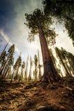 Sequoia gigante ao céu, bosque de Mariposa, parque nacional de Yosemite, Califórnia imagem de stock