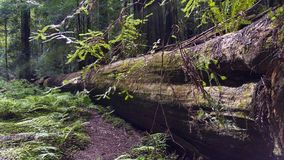 Sequoia gigante caduta Forest Tree immagini stock