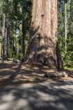 Sequoia gigante in California Immagine Stock