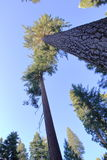 Sequoia gigante - parco di Yosemite - California Immagine Stock
