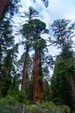 Sequoia gigante, parco nazionale fotografia stock libera da diritti