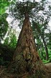 Sequoia gigante, sierra redwood, Wellingtonia immagine stock libera da diritti