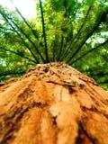 Sequoia Gigantea Στοκ Εικόνες