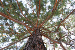 Sequoia Gigantea Royalty Free Stock Photo