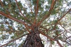 Sequoia Gigantea. Tree branches detail Royalty Free Stock Photo
