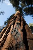 Sequoia gigantes nacionais da sequoia foto de stock