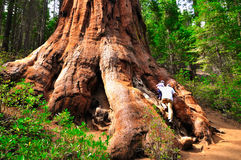 Sequoia. Royalty Free Stock Image
