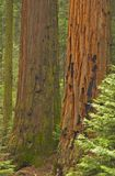 Sequoia Grove Stock Photo