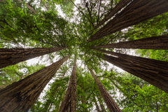 Sequoia Stock Photos