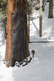 Sequoia Nationaal Bos Stock Afbeeldingen