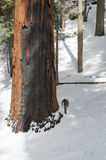 Sequoia National Forest. Hiker passing by a tree in Sequoia National Park Stock Images