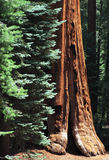 Sequoia National Park. Three tree species in Sequoia National Park Stock Photo