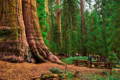 Tourists by a giant sequoia tree Royalty Free Stock Photos