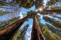 Sequoia National Park. Giant Sequoias Forest. Sequoia National Park in California Sierra Nevada Mountains, USA stock images