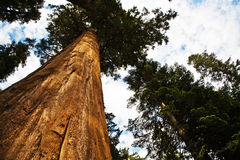 Sequoia national Park with old huge Sequoia trees like redwoods Stock Photography