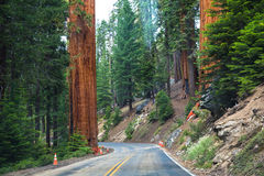 Sequoia National Park road. Giant sequoia trees in Sequoia National Park, California, USA Royalty Free Stock Photography