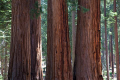 Sequoia National Park in USA Stock Photography