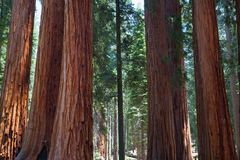 Sequoia National Park, USA. It is a national park in the southern Sierra Nevada east of Visalia, California, in the United States. It was established on royalty free stock photo