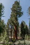 Sequoia Nationale Park stock foto
