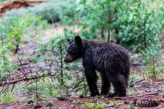 Sequoia Nationale Park stock fotografie