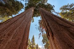 Sequoia Park immagine stock