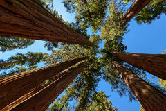 Sequoia Park Imagem de Stock