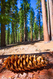 Sequoia pine cone macro in Yosemite Mariposa Grove Royalty Free Stock Photography