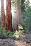 Sequoia Royalty Free Stock Photo