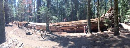 Sequoia rode houten boom Royalty-vrije Stock Foto's