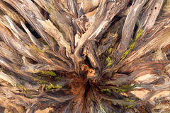 Sequoia Roots. A full frame background of the roots of a fallen sequoia tree Stock Images