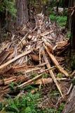 Sequoia rotta Fotografia Stock