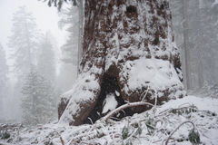 Sequoia`s covered in Snow Stock Photos
