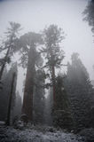 Sequoia`s covered in Snow Royalty Free Stock Photography