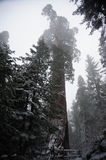 Sequoia`s covered in Snow Royalty Free Stock Images