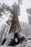 Sequoia`s covered in Snow Royalty Free Stock Photos